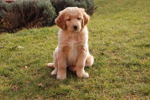 Buying a Golden Retriever Puppy