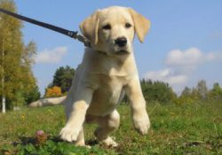 Why dogs pull on leash