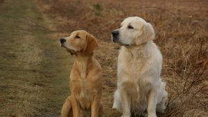 Male and female Golden Retriever sitting in a field