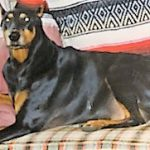 A Doberman Pincher laying on a couch