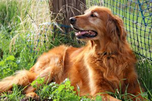 Female Golden Retriever laying outside along a fence in the grass