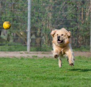 Golden Retriever running and chasing a ball outdoors