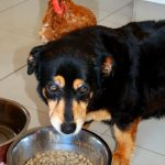 Prevention of dog bloat