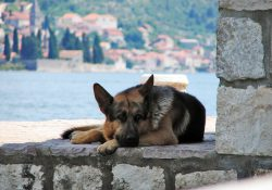 German Shepard laying on a stone wall by the water