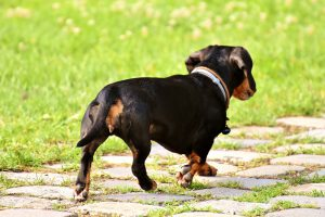 Why do dogs wag tail