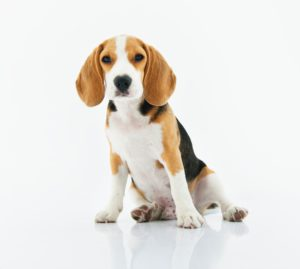 Best Dog for kids Beagle