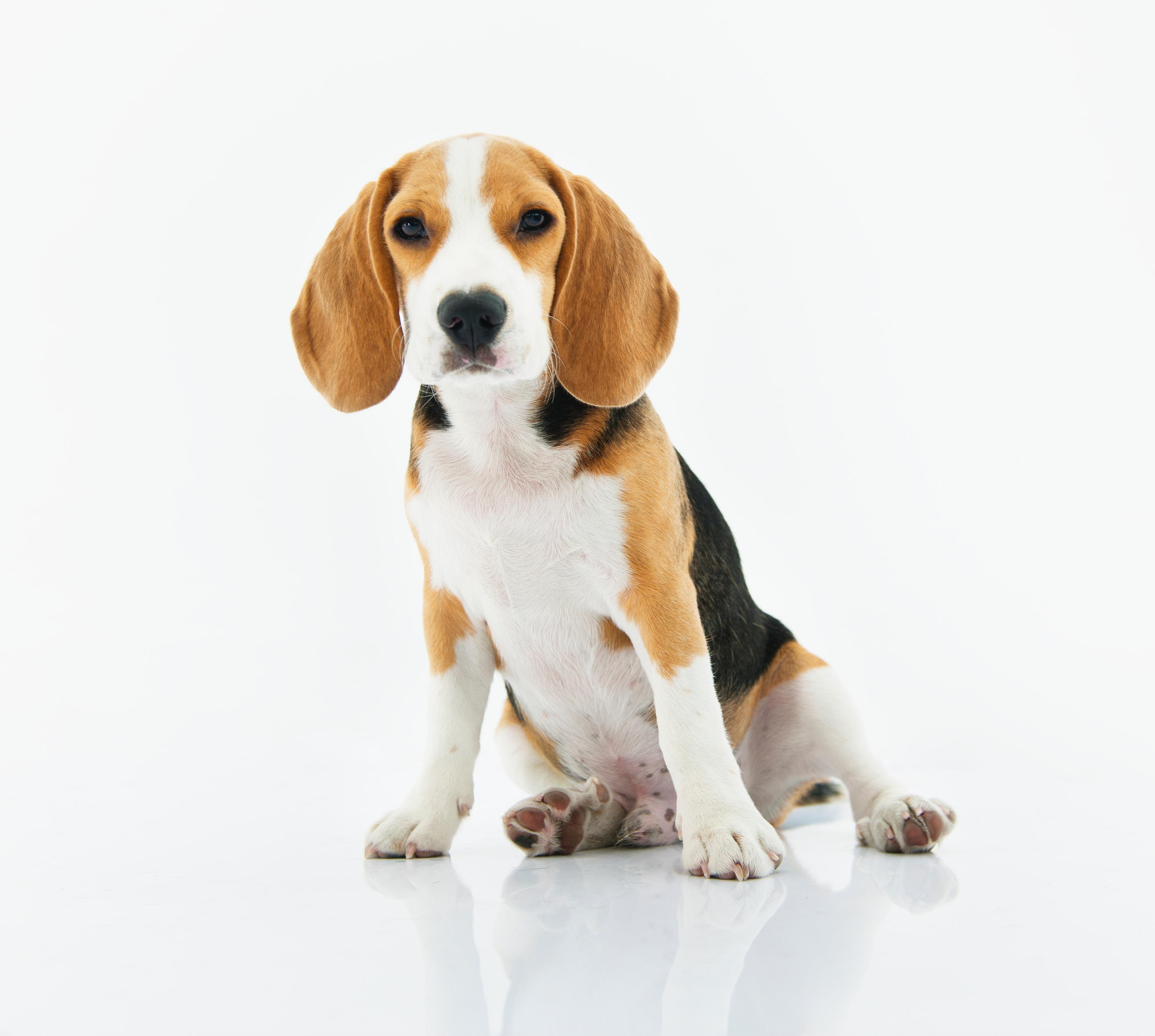 Best Dog for kids Beagle
