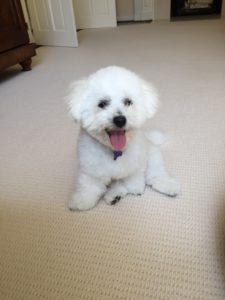 Best dog for kids Bichon Frise