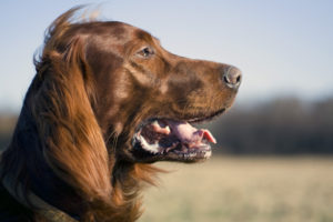 Best Dog for kids - Irish Setter