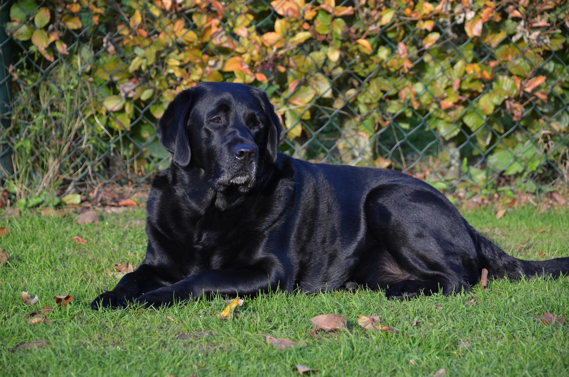 Best dog for kids Labrador Retriever