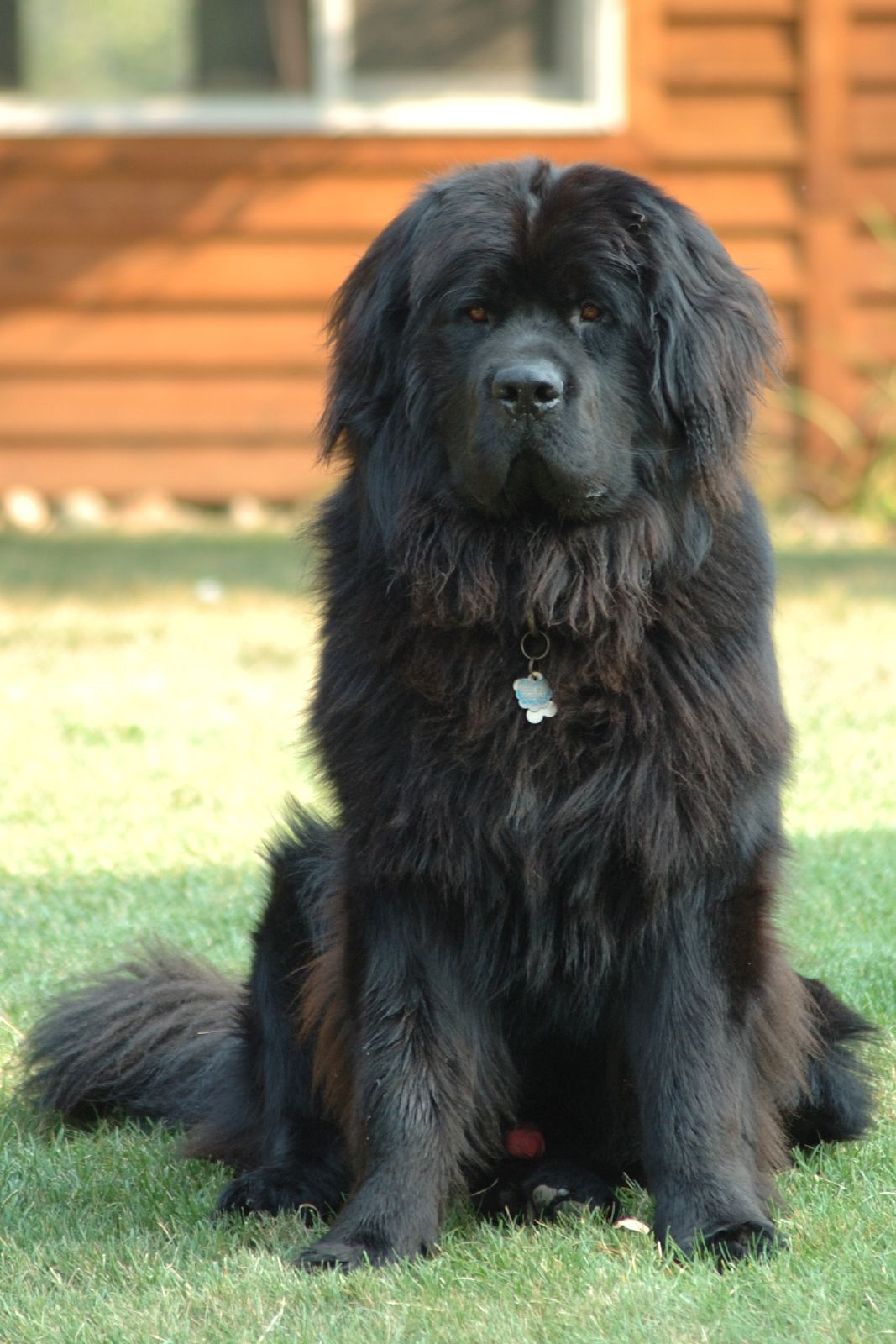 Best dog for kids - Newfoundland