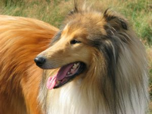 Best dog for kids - Rough Collie
