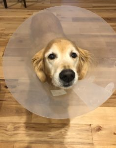 Elizabethan collar for dog hot spots treatment