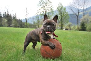 Best dog for kids French Bulldog