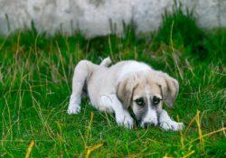 Dog bloat symtoms