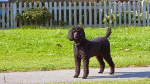 Best Dog for kids - Standard Poodle