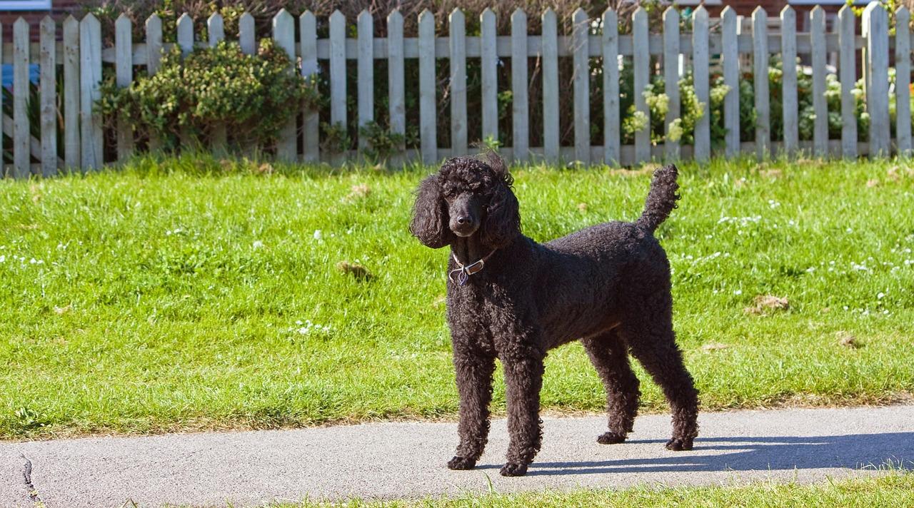 Best Dog for kids - Standard Poodle