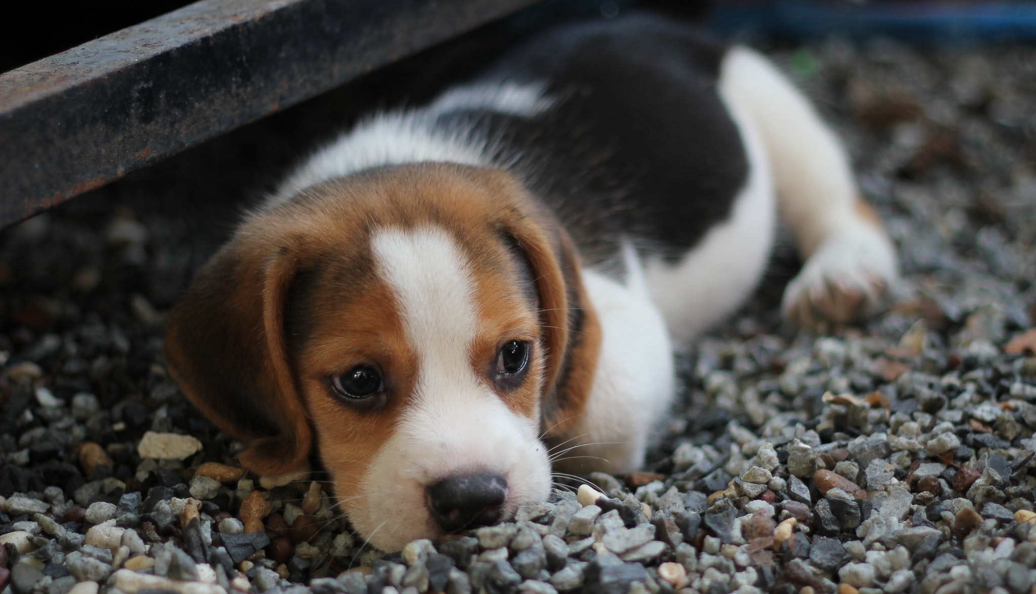 Dangers of dogs eating rocks