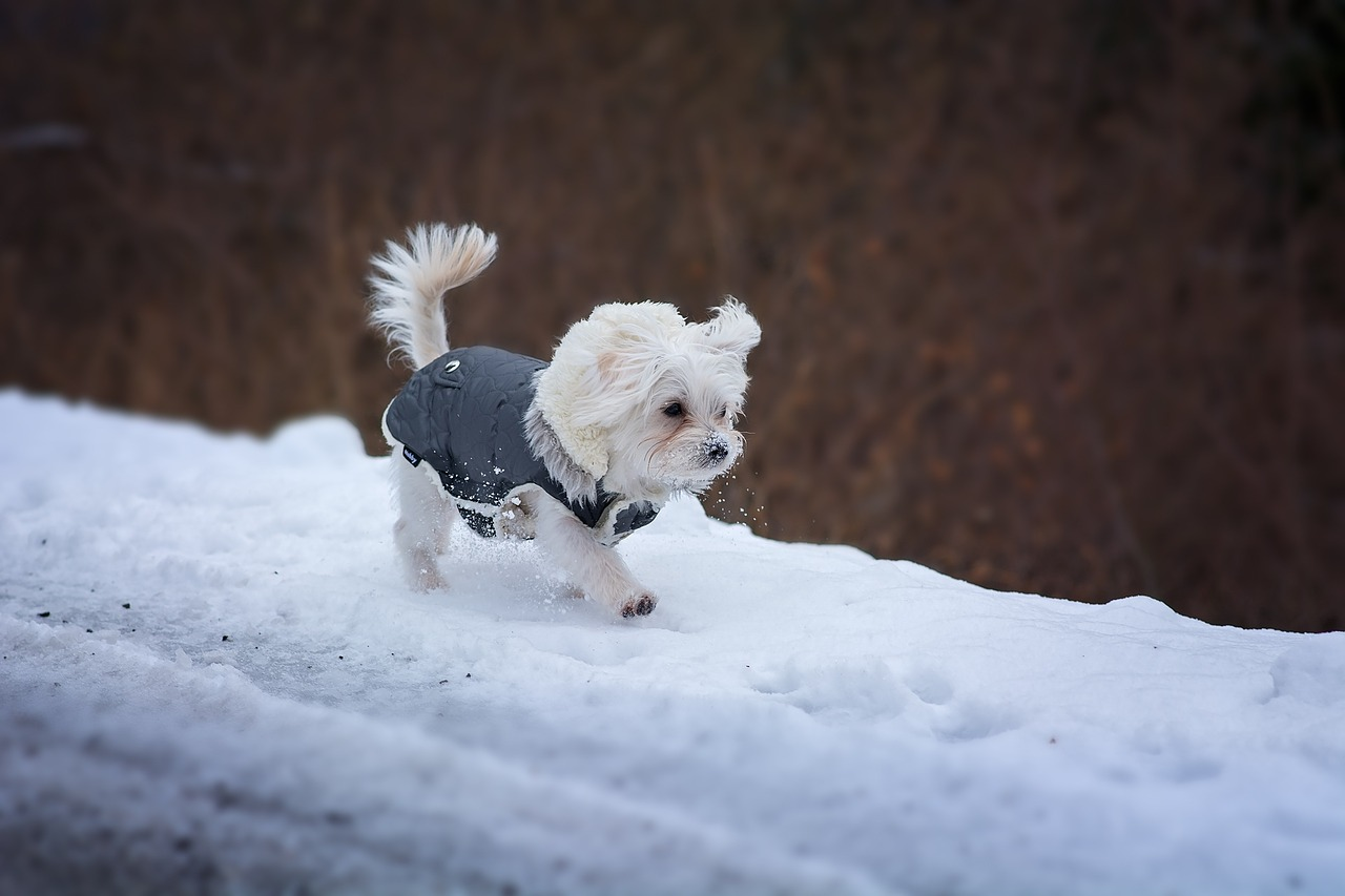 Small dogs need coats in cold weather