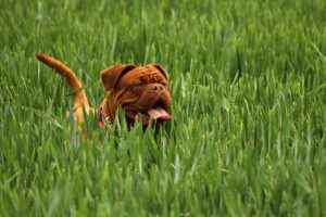 Dogs and Lyme disease