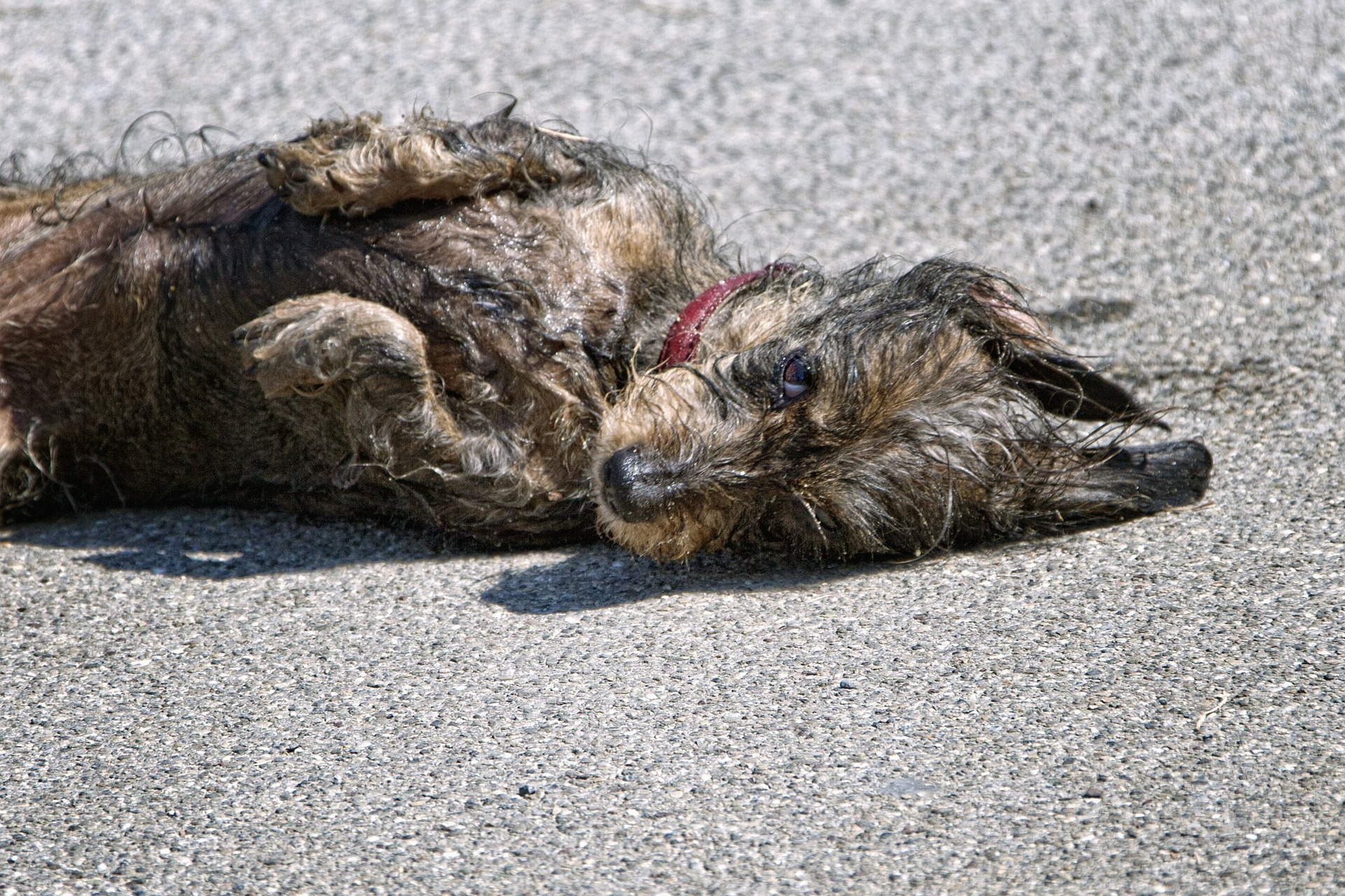 Why dogs roll on dead animals