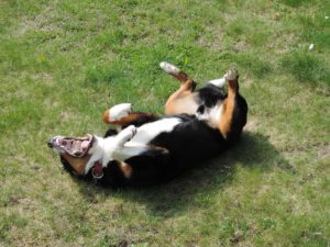 Why dogs roll in stinky stuff