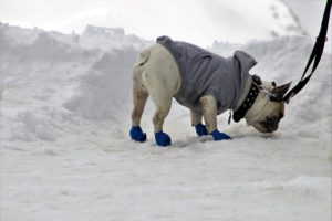 Winter boots for dogs