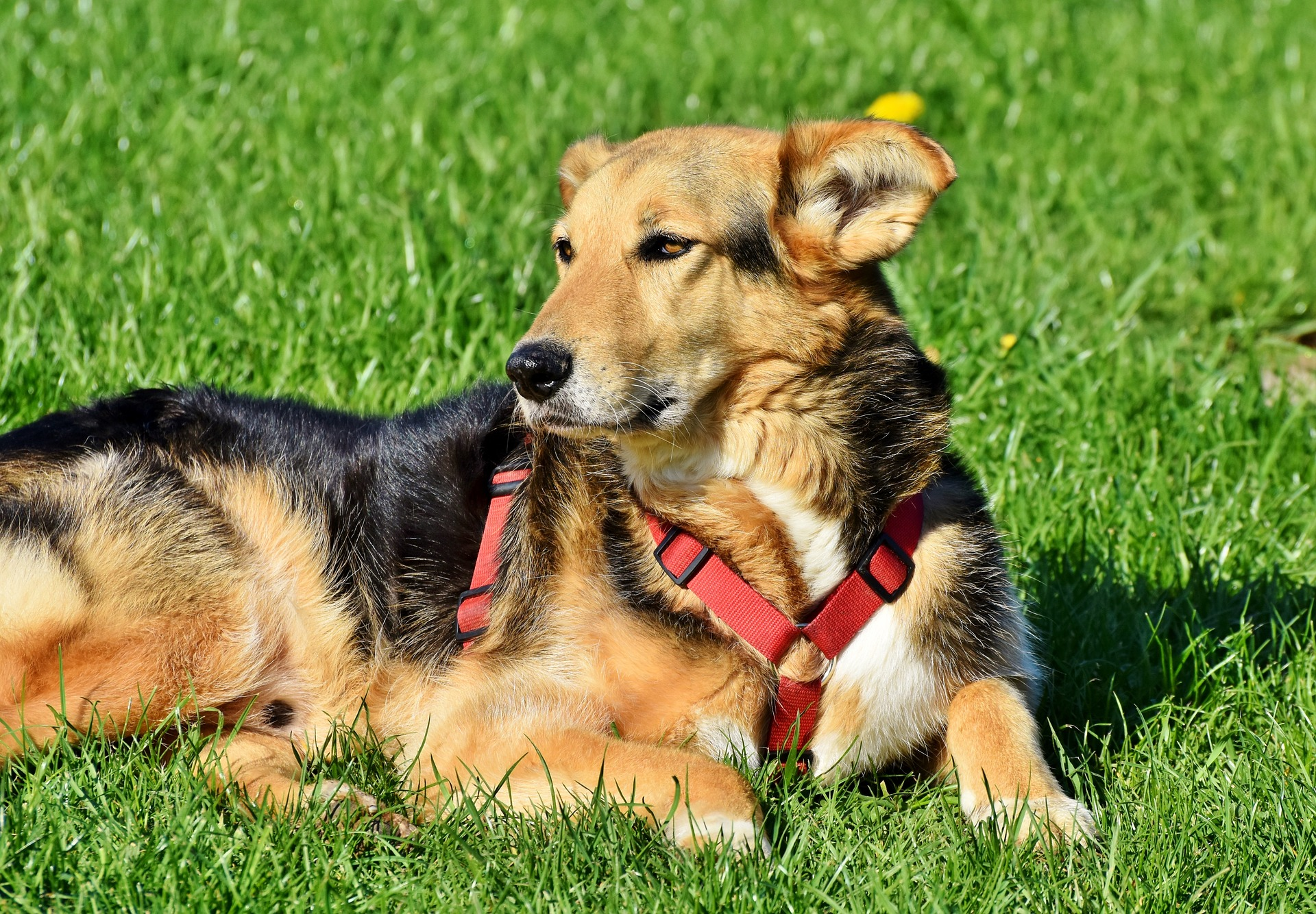 causes of laryngeall paralysis in dogs