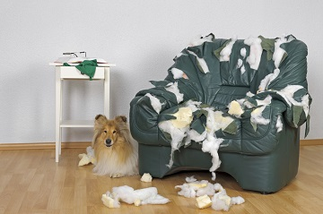 Dog chewing on furniture