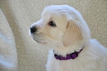 Free Golden Retriever puppies
