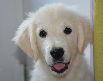 How much to Golden Retriever puppies cost