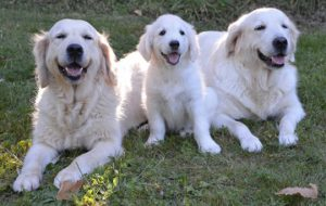 Golden Retriever health concerns