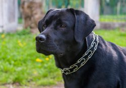 Dogs with Prong Collars