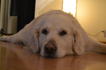 Help An Old Dog Slipping On Hardwood Floors 7 Tips To Help