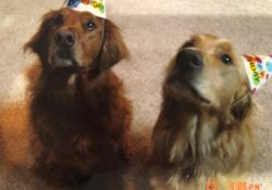 What is the Golden Retriever Personality