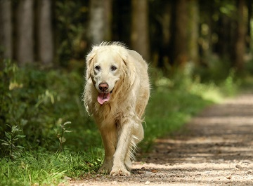 Hip dysplasia and Golden Retrievers