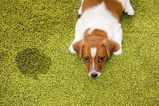 Remove dog stains on carpet
